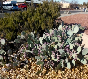 NM Cactus