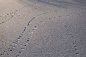 animal-tracks-victoria-island-ottawa