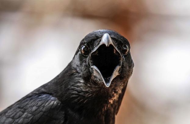 crow_elangovans_623